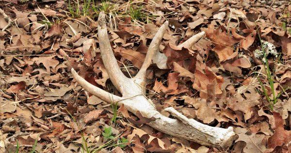 Shed Hunting image | TNT Hunter Blog